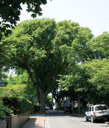 Nantucket Today: State of the Elms