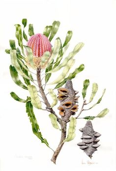 Banksia menziesii, botanical illustration by Helen Fitzgerald . Australian Wildflowers, Australian Native Flowers, Australian Plants, Australian Art, Australian Tattoo, Botanical Tattoo, Botanical Drawings, Botanical Flowers, Botanical Prints