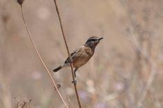 Esta Tarabilla pasa el #verano en los campos de #Tarifa, es una hembra , son #aves que se encuentran con facilidad en las alambradas y ramas cecas Spain, Bird, Animals, Female, Branches, Natural Playgrounds, Summer, Animaux, Animales