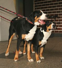 Greater Swiss Mountain Dog and Entlebucher Mountain Dog