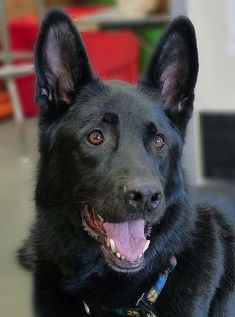 Black german shepherd - this one is good enough to paint for me :) #johncarwithen