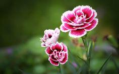 Fond d'écran hd : fleur rose