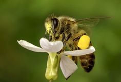 Honey Bee. by Omar Al-naas on 500px  SAVE THE BEES