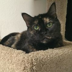 """Huge congratulations to Bella who went to her furever home yesterday! We're delighted that just the right patient loving human found their perfect heart match with our quiet little Bella.   What amazing news to be able to share on Thanksgiving! Hope everyone has a wonderful day! ! _______________________>..<_______________________  Do you love your House Cat?  Now it's easy to wear your love: just visit http://ift.tt/2gdnFhV and order a """"I Heart My House Cat"""" shirt TODAY! Don't forget: add…"""
