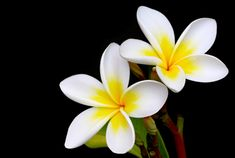 Plumeria - My favourite tree, overwhelmingly fragrant and designed to my taste :)