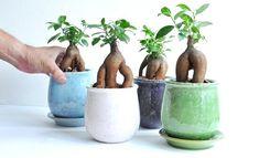 4色の貫入陶器鉢 ガジュマル 風合いある ラウンド型 陶器鉢 Ficus Microcarpa, Amazing Gardens, Bonsai, Flora, Exotic, Planter Pots, Planting Plants, Dream Life, City