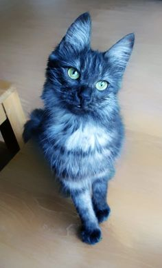 Black smoke Turkish Angora cat -- did you ever see a blue cat?