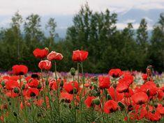 red poppy flowers - Furano, Hokkaido