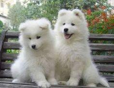 Samoyed Puppies (I think).