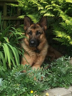German Shepherd                                                                                                                                                                                 More