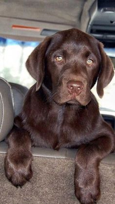 Mind Blowing Facts About Labrador Retrievers And Ideas. Amazing Facts About Labrador Retrievers And Ideas. Chocolate Lab Puppies, Chocolate Labrador Retriever, Labrador Retriever Dog, Chocolate Labs, Labrador Puppies, Corgi Puppies, Chocolate Labradors, Cute Puppies, Cute Dogs