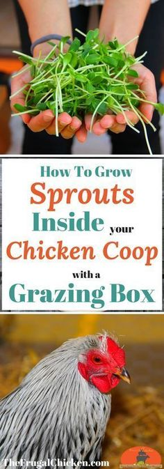 Chickens get bored in their coops! Grow healthy sprouts to keep them occupied wi… Chickens get bored in their coops! Grow healthy sprouts to keep them occupied with this grazing box. Takes about 5 minutes to make! Portable Chicken Coop, Best Chicken Coop, Backyard Chicken Coops, Chicken Coop Plans, Building A Chicken Coop, Chicken Coup, Chicken Tractors, Chicken Garden, My Pet Chicken
