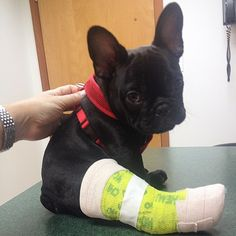 French Bulldog Puppy with a leg cast, poor baby.