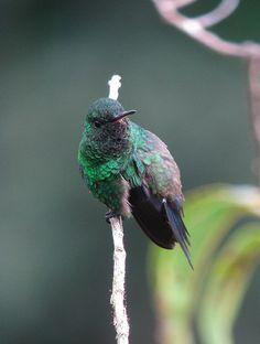 Amazilia saucerottei / Steely-vented Hummingbird