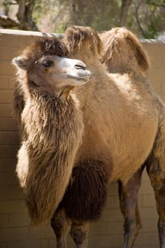 Bactrian Camels are native to Central Asia and are used for transport.