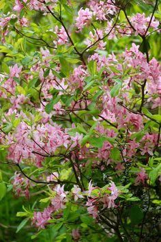 Rhododendron prinophyllum - Rusoatsalea