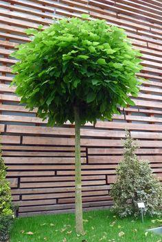 kugel trompetenbaum der sch nste baum f r den vorgarten home outdoor pinterest kugel. Black Bedroom Furniture Sets. Home Design Ideas