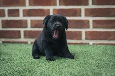 Cute Labrador Puppies, Black Lab Puppies, Cute Puppies, Cute Dogs, Dogs And Puppies, Black Labs Matter, Black Dogs, Pets 3, Labrador Retrievers