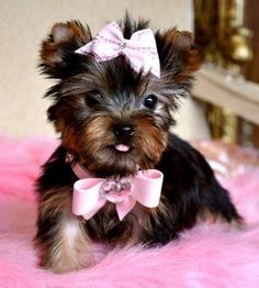 Teacup Yorkie :)  @MikailaSue Etheredge  Just thought this would make you smile.