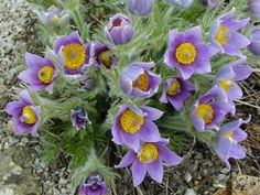 Pulsatilla vulgaris (Pasque flower, Easter flower) Native to much of Europe probably an ancient garden plant. As early as 13th century it was used to produce a bright green dye to colour Easter eggs.