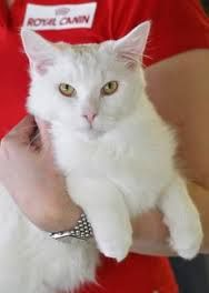 Image result for white cats with honey eyes
