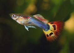 Guppy Pictures | Guppy Fish