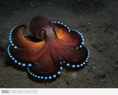 Coconut Octopus-yes this is real! Although the little suckers seem to be illuminated, they don't light up. This octopus likes coconut shells-hence the name: Coconut Octopus