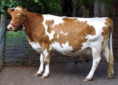 A pretty 6-yr old Guernsey cow. (Interesting post to read how she was acquired).