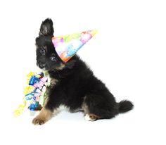 Birthday Pomeranian Puppy    Like, repin, share! :)