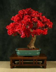 Bonsai red Tree Flower color is great and trunk and root shape subtle