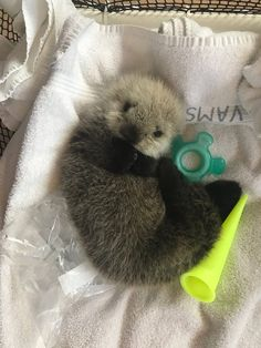 Look at this sweet sea otter baby! : aww - Mario Lemke - Look at this sweet sea otter baby! : aww Look at this sweet sea otter baby! Cute Little Animals, Cute Funny Animals, Fluffy Animals, Animals And Pets, Wild Animals, Baby Sea Otters, Otter Pup, Otter Meme, Otter Facts