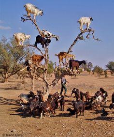 tree of goats
