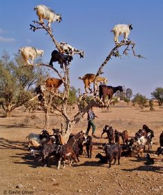 goats in trees? apparently so, in Southern Morocco