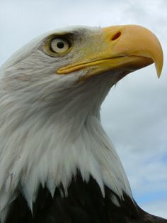 ive never seen a bald eagle in person before..