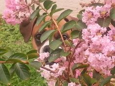 My Boxer Shawnee looking at me through my crape myrtles lol...    This is one of my favorite pictures♥