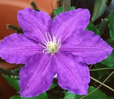 Joy Creek Photo Archive (c) all rights reserved Clematis 'Lasurstern' (Goos & Koenemann) is very popular. Lavender blue flowers with yellow anthers. Good for cut flowers.