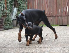 Kisses #DobermanPinscher