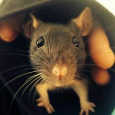 Rat in a sleeve
