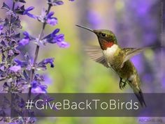Here at American Bird Conservancy, we are always thinking about ways to give back to birds (like this hummingbird, featured in our logo). And because December is the season of g