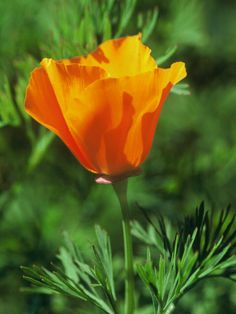 Image Source Eschscholzia californica ( California poppy , golden poppy , California sunlight , cup of gold ) is a species of floweri. Beautiful Flowers Garden, Pretty Flowers, Fresh Flowers, Beautiful Gardens, Wild Flowers, Glass Flowers, Beautiful Gorgeous, Seed Bank, Primroses