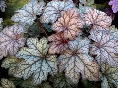 We grow Heucheras and their chums down in the New Forest UK. Our show stands win bright shiny medals and they are known for being a bit wacky. Beautiful Flowers, Heuchera, Coral Bells Heuchera, Plants, Coral Bells Plant, Beautiful Blooms, Foliage Plants, Blooming Plants, Container Plants