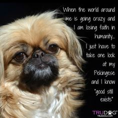 Pekingeses are awesome! Check out this list of Pekingese dog memes that are sure to put a smile on your face. Yorkies, Pekingese Puppies, Cute Puppies, Cute Dogs, Dogs And Puppies, Fu Dog, Dog Cat, Collie, Animals And Pets