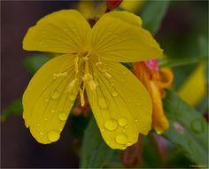 """Die Nachtkerze wird im Volksmund auch Nachtblume, Gelber Nachtschatten, Nachtschlüsselblume, Eierblume, Gelbe Rapunzel, Härekraut, Rapontika, Rübenwurzel, Schinkenkraut, Schinkenwurz, Stolzer Heinrich, Weinblume oder Weinkraut und Hustenblume genannt.  Im Volksmund wird die Nachtkerze auch """"Schinkenwurz"""" genannt, denn ihre Wurzel verfärbt sich beim Garen rötlich. Ihre weite Verbreitung in Europa ist vor allem auf ihren im 18. Jahrhundert und 19. Jahrhundert häufigen Anbau als Gemüsepflanze…"""