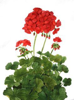 Red Geraniums Original Watercolor Garden v by wandazuchowskischick