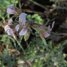 Pelargonium dolomiticum Courtyards, Garden Beds, Shrubs, Perennials, Wild Flowers, Grass, Plants, Internal Courtyard, Garden Bed