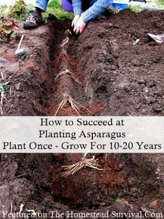 Organic Gardening How to Succeed at Planting Asparagus Homesteading Garden Frugal Homesteading - The Homestead Survival . Hydroponic Gardening, Hydroponics, Organic Gardening, Gardening Tips, Gardening Books, Organic Fertilizer For Vegetables, Gardening Gloves, Urban Gardening, Flower Gardening