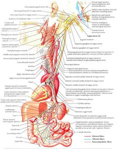 Interesting article- Vagus nerve