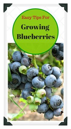 Learn all about growing blueberries; from choosing the best varieties, to preparing the soil, and proper spacing! Use our free online Vegetable Garden Planner, zone chart, planting guide, and worksheets to plan a garden that works for you!