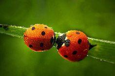 Good Luck Ladybugs
