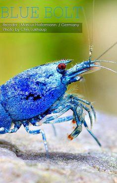 Freshwater Lobster, Freshwater Aquarium Shrimp, Aquarium Fish, Shrimp Tank, Prawn Shrimp, Aquascaping, Fish Tank Design, Pet Fish, Amphibians